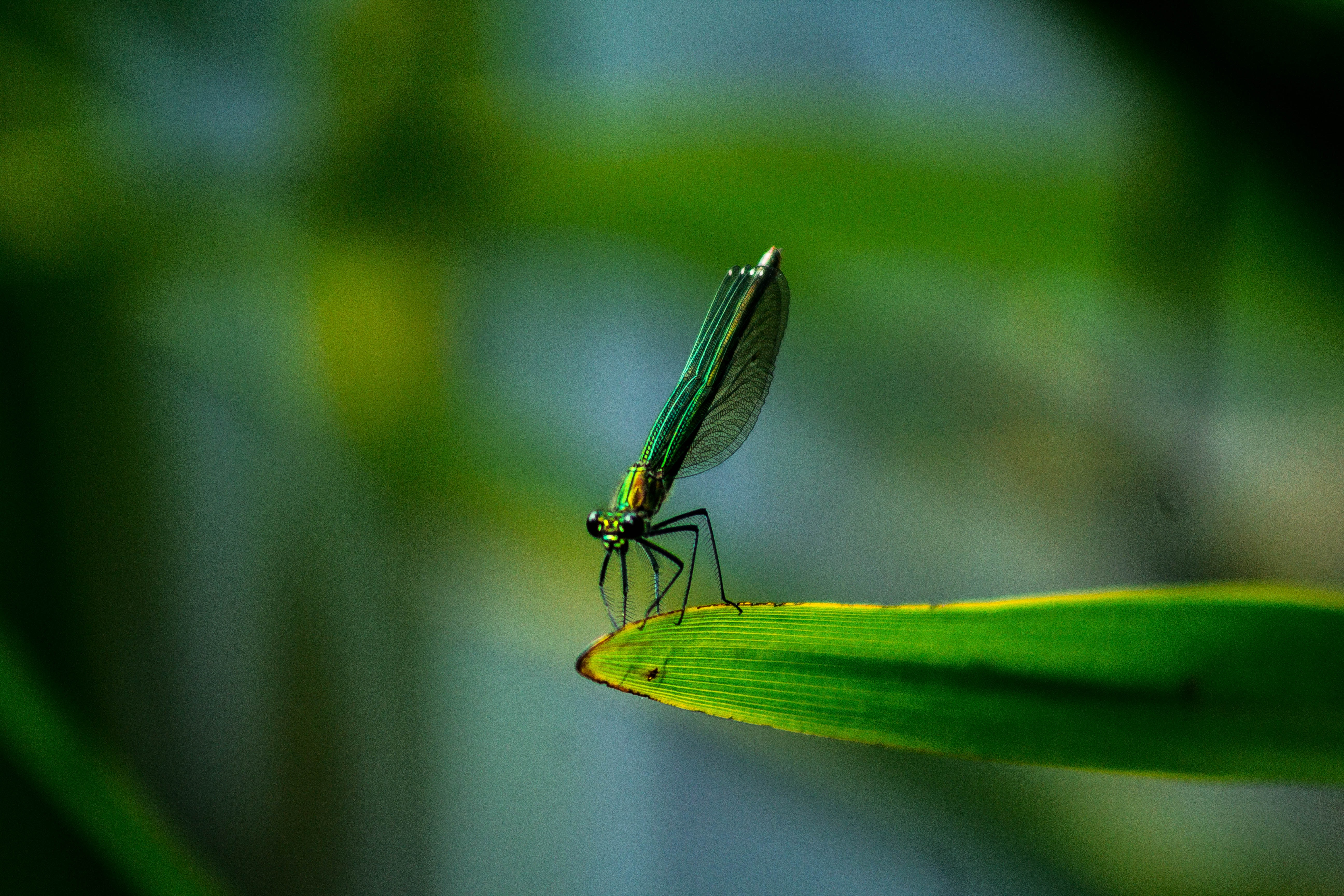 Green dragonfly blends in with its surroundings sitting on a leaf