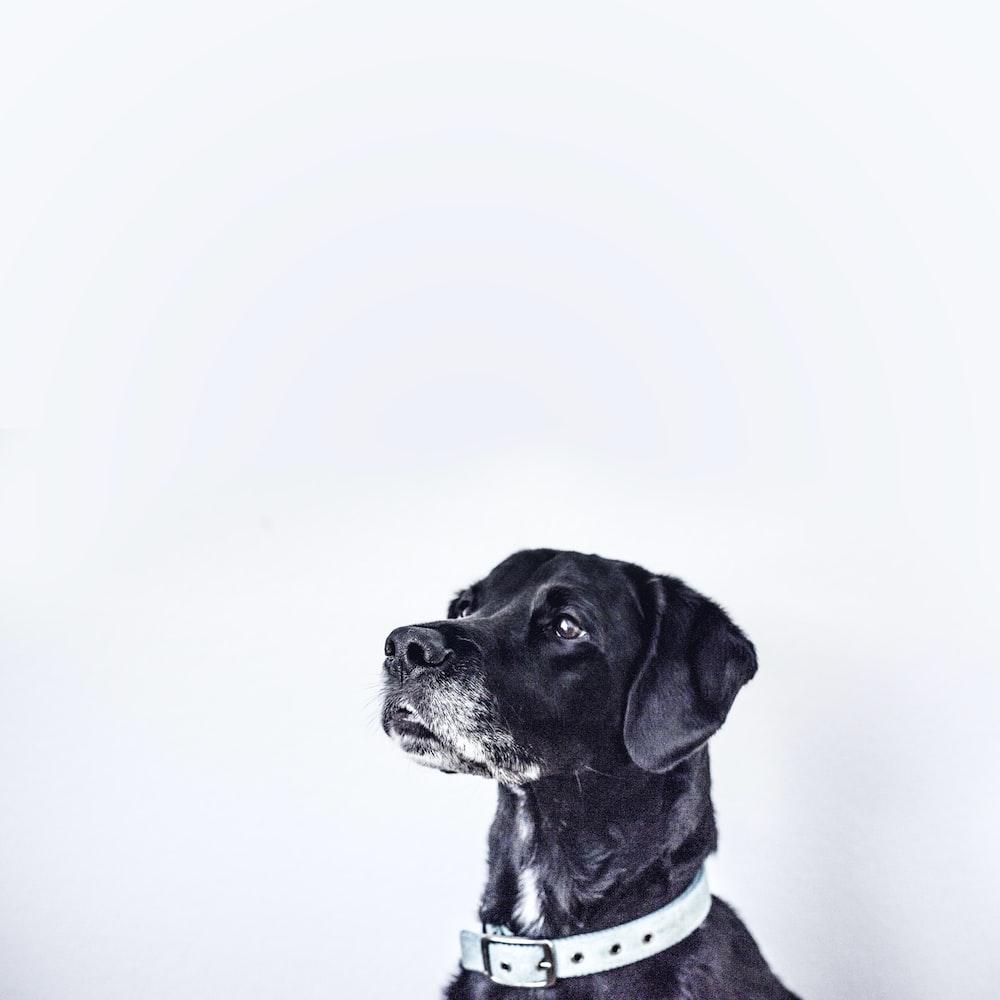 black dog with white collar
