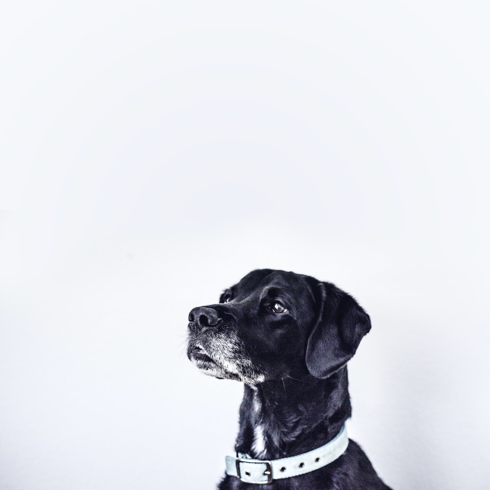 black dog with white collar