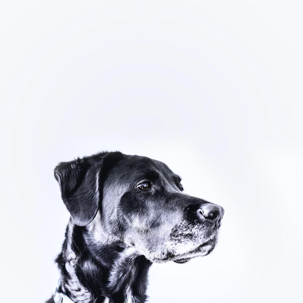 medium-coated black dog