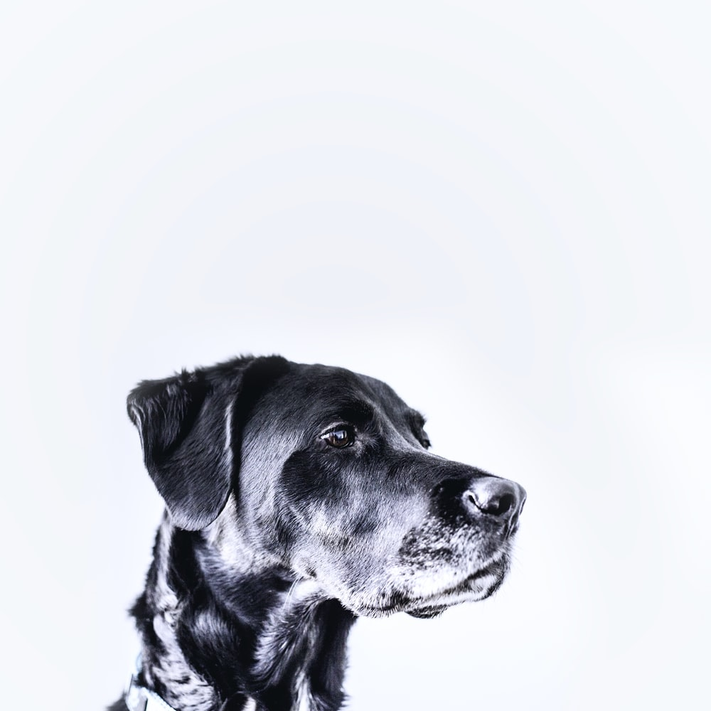 medium-coated black dog