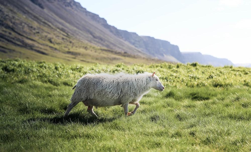 photo of running white sheep