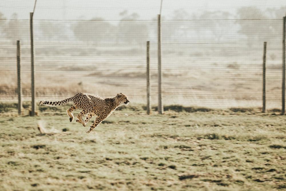 cheetah running on brown field
