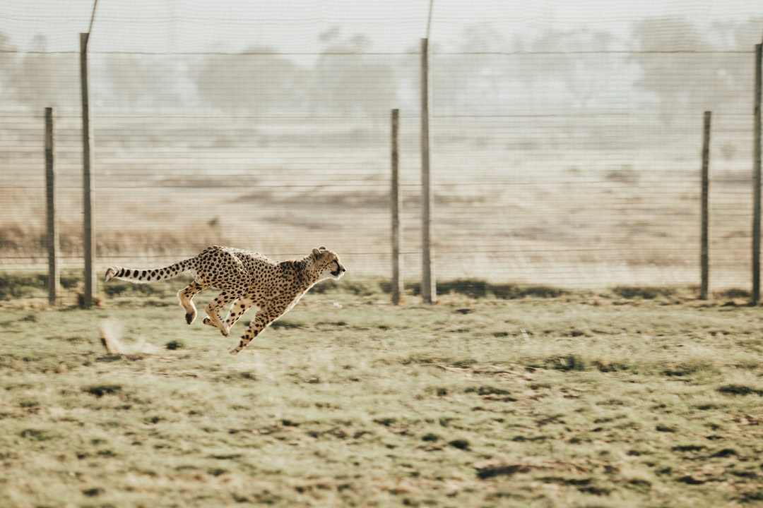 We had the opportunity to visit Cheetah Outreach outside of Cape Town and watch cheetahs running up close. They are stunning creatures.