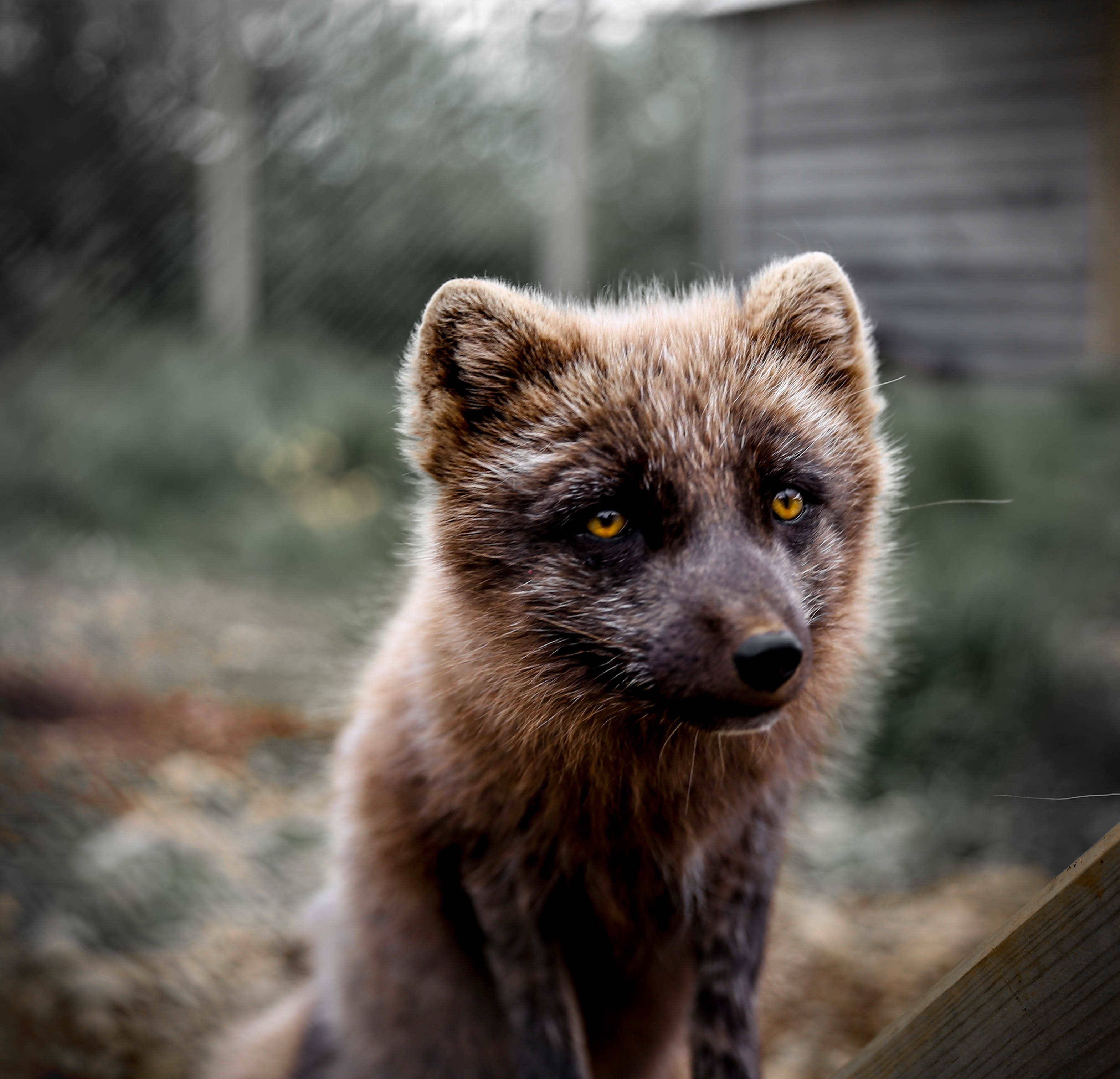 Macro of a brown fox with yellow eyes looking apologetic beside a gray background of a shed and lawn