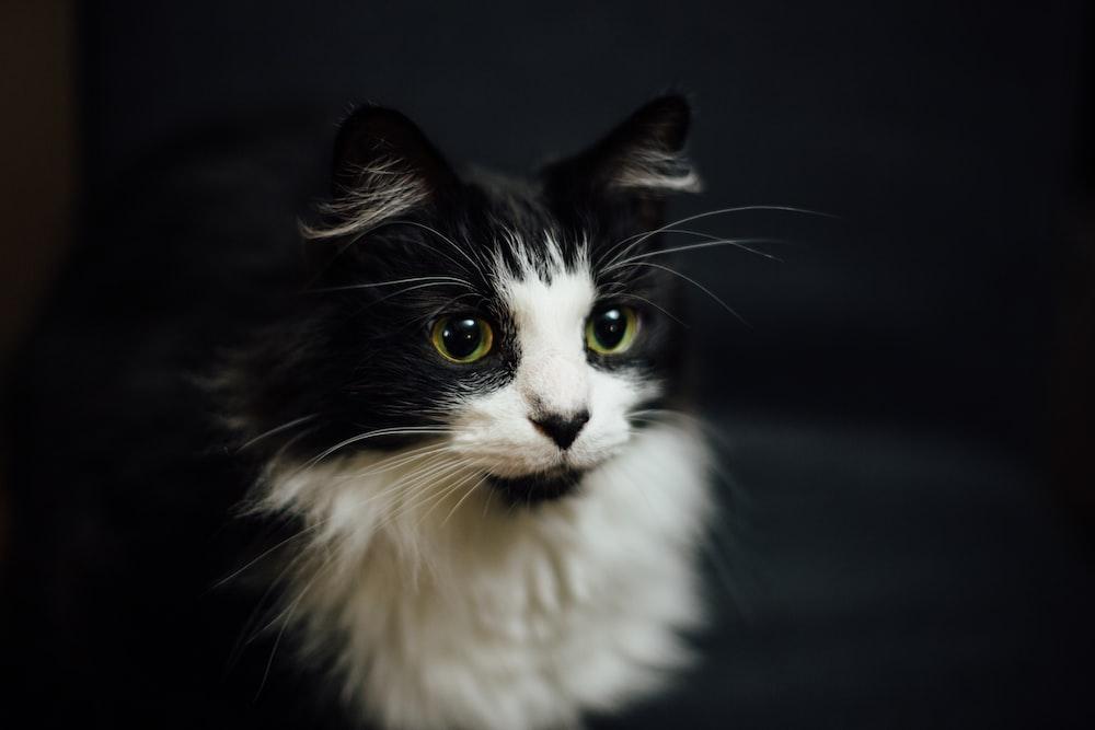 shallow focus photography of tuxedo cat