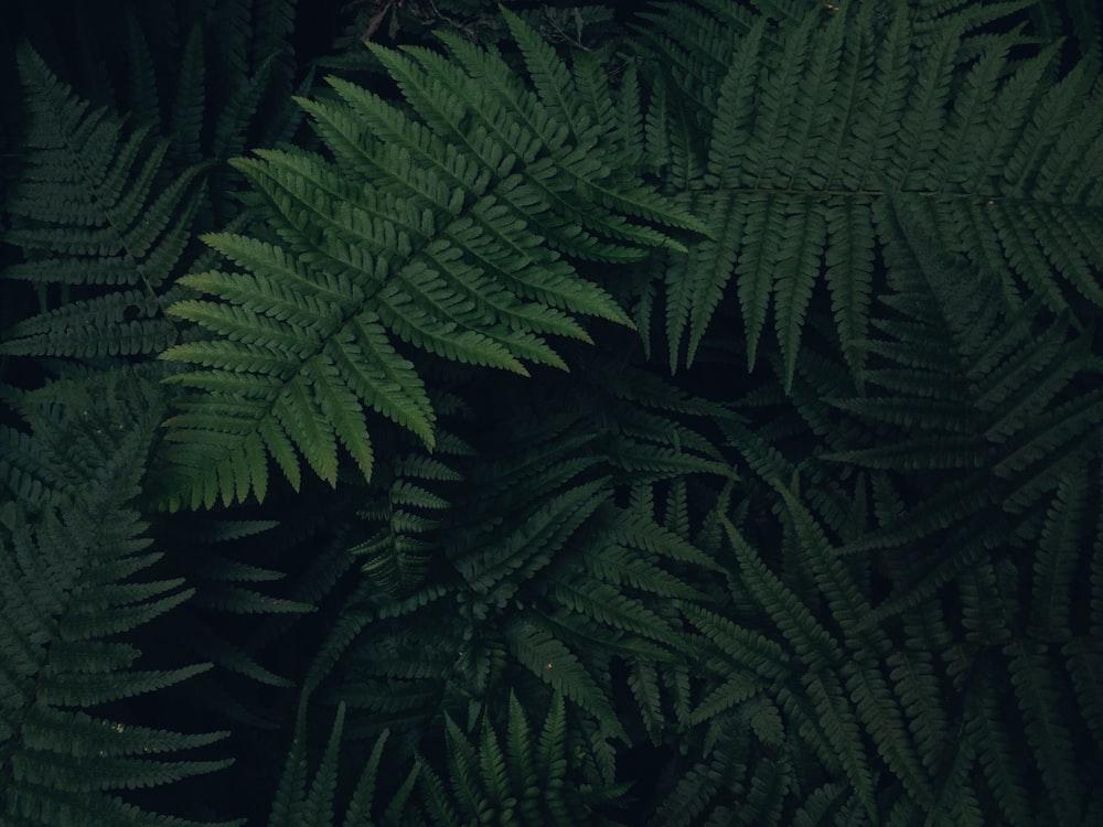 green ostrich fern plant