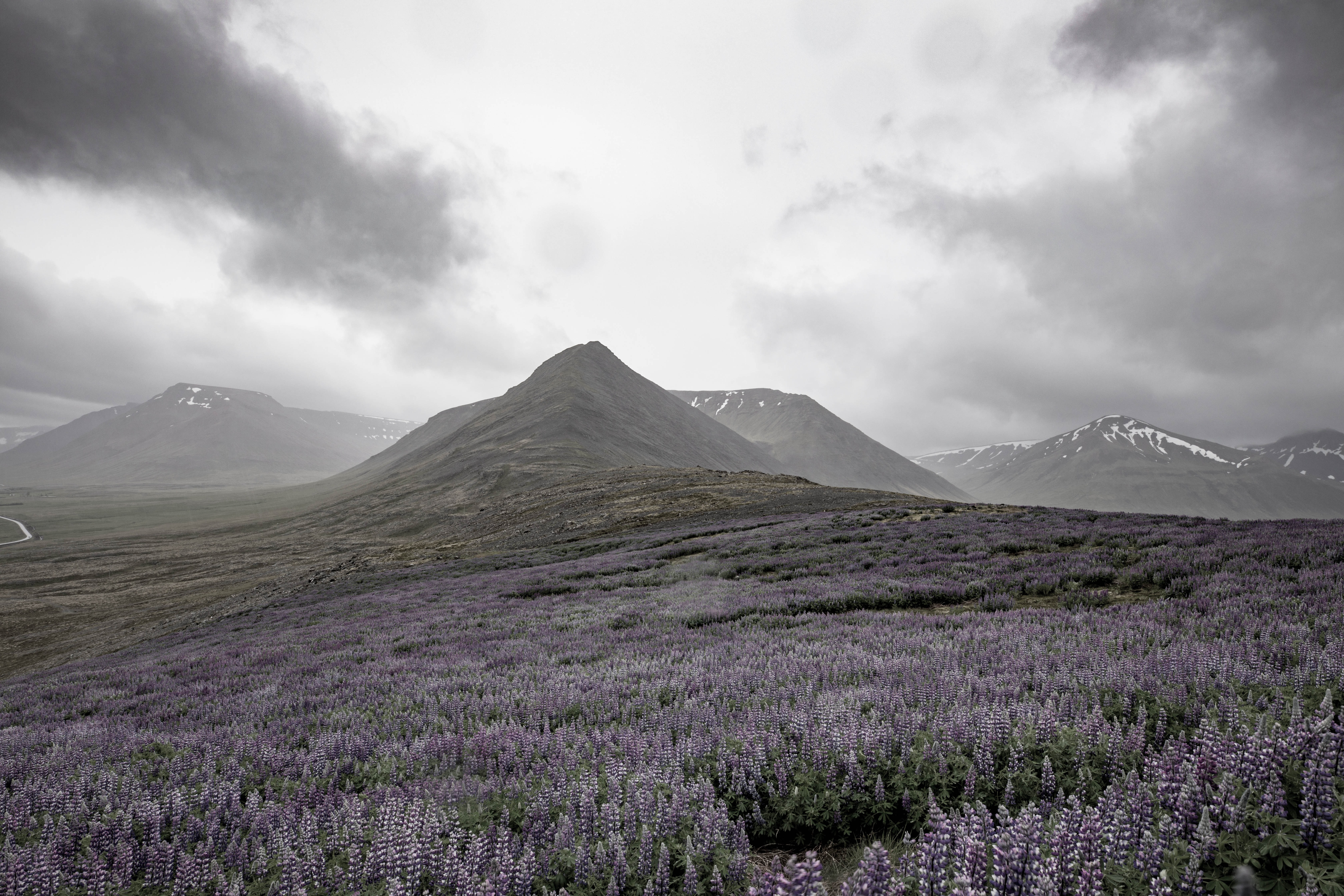 A field of lupine in the mountains