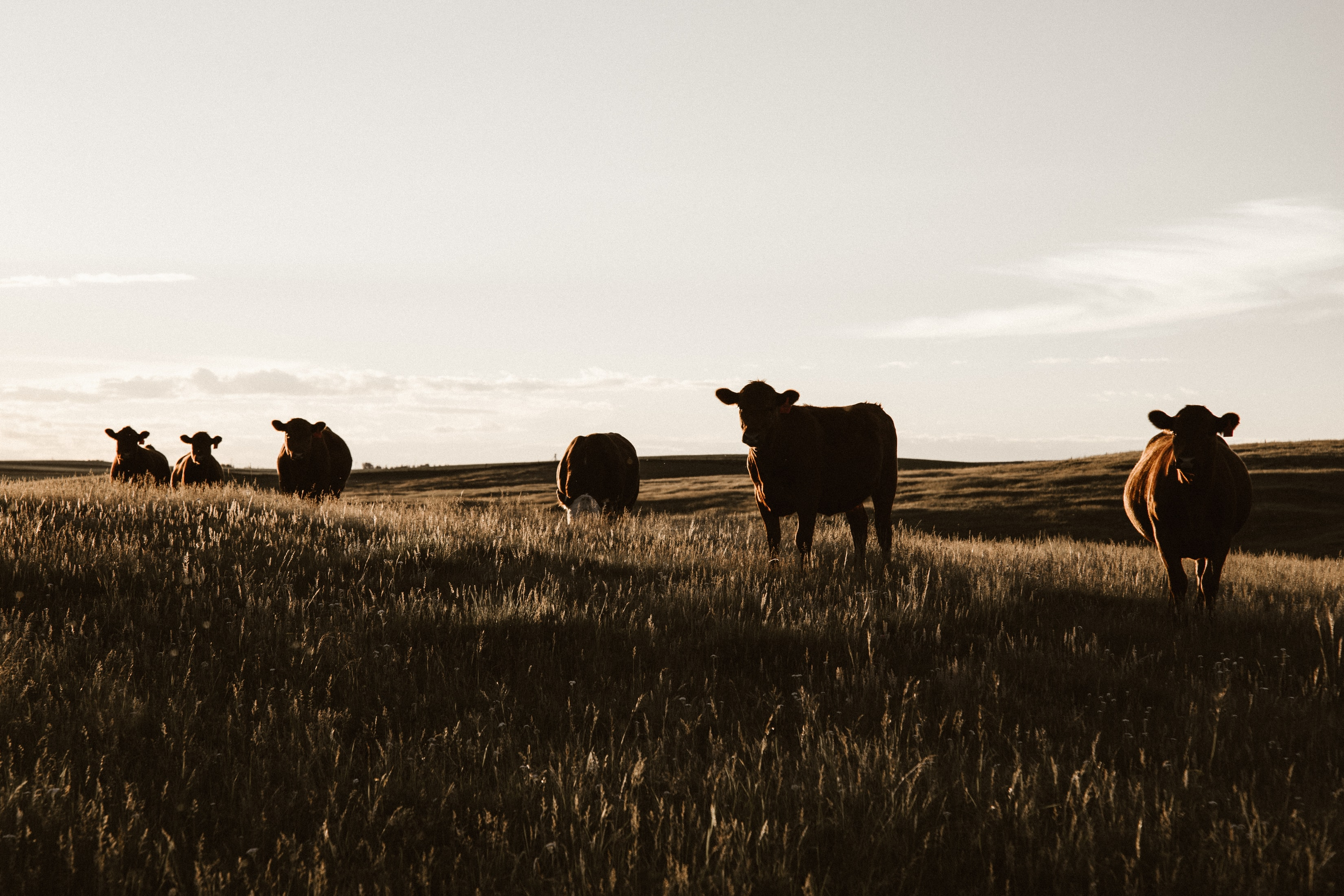 Counterfeit Cows: Cheating the Grass-Fed Beef Label