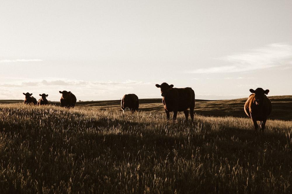 herd of cows on grassland