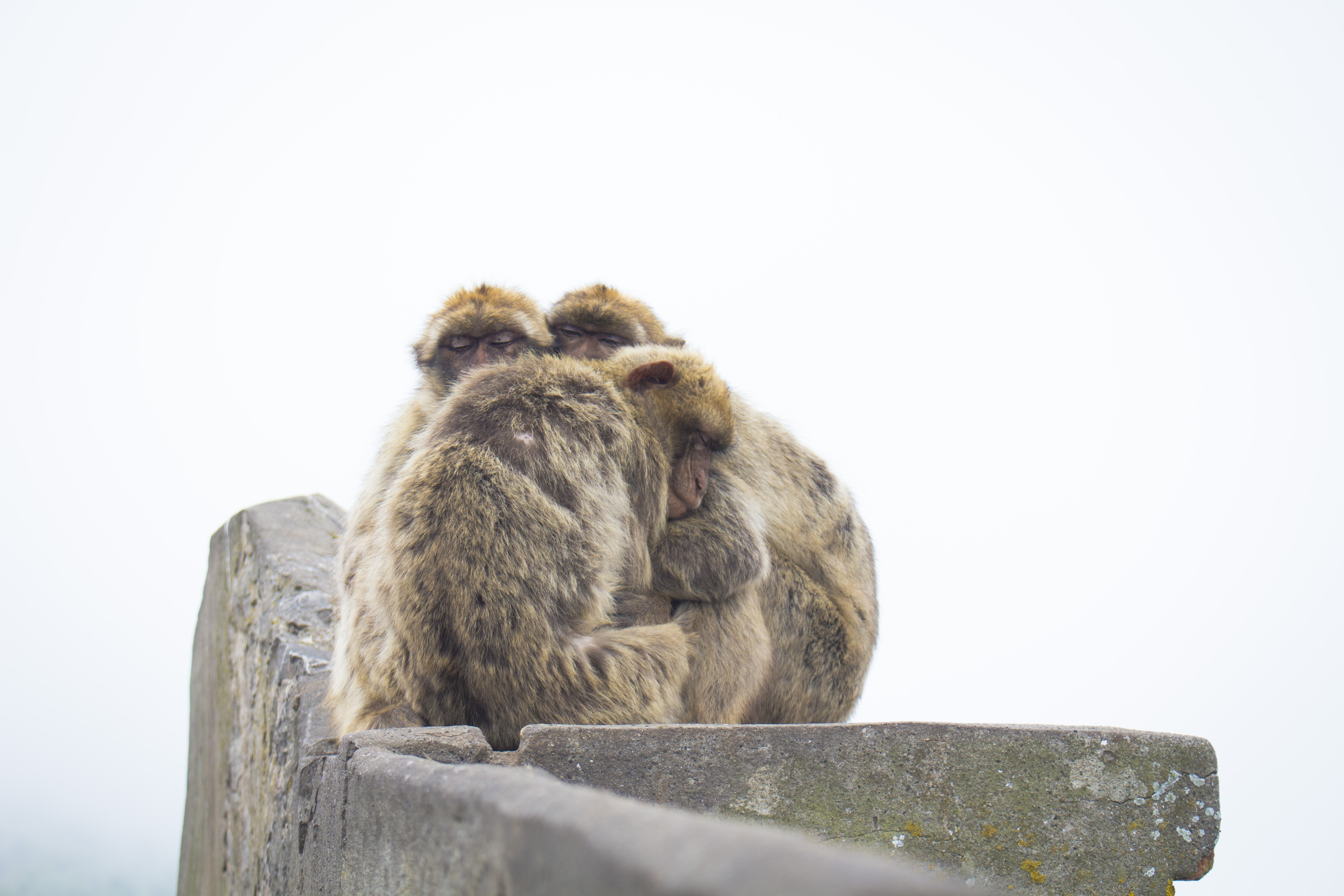 Group of monkeys on a snowy day in Gibraltar huddle against the cold on a stone wall