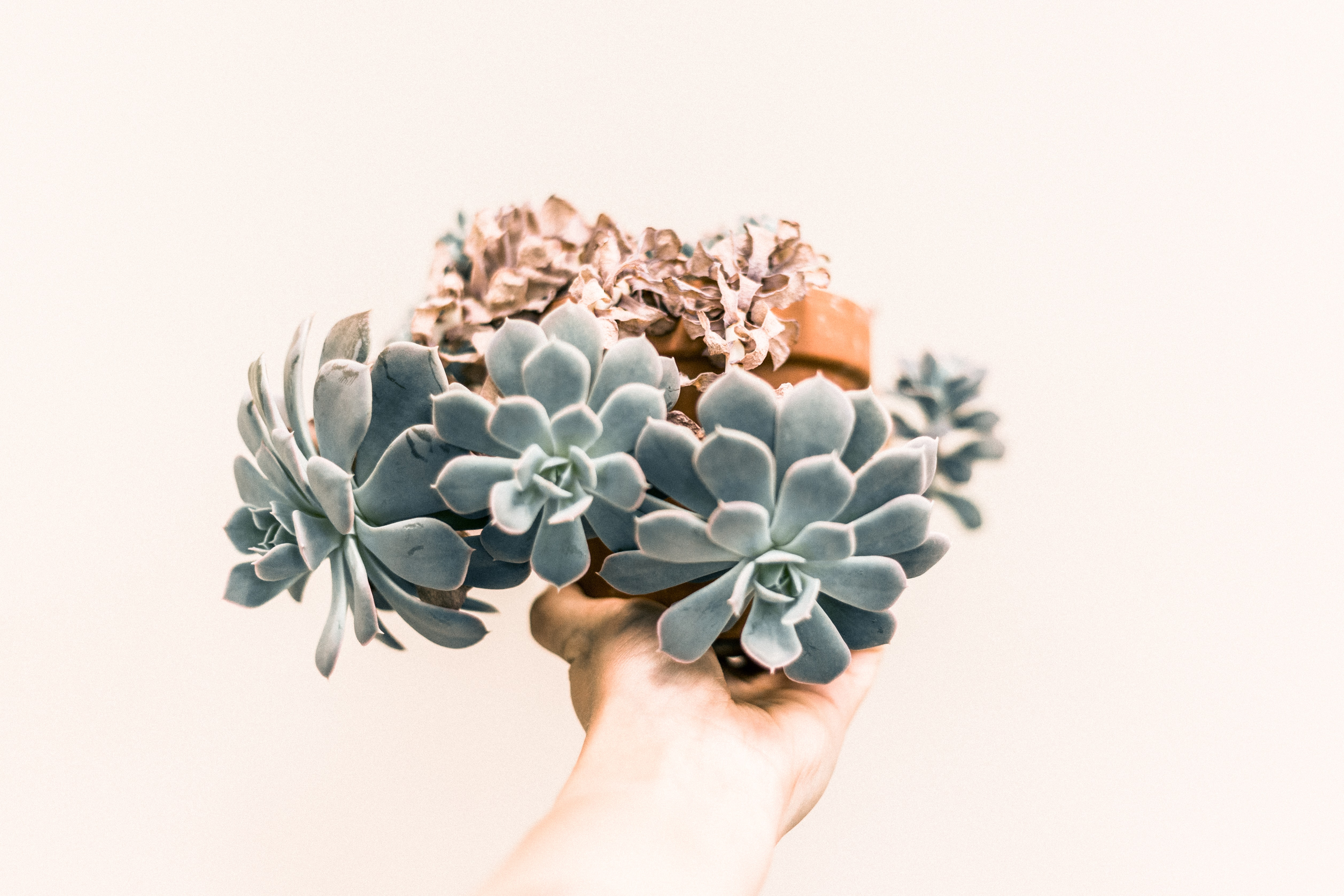 A person's outstretched hand holding a flowerpot with succulents