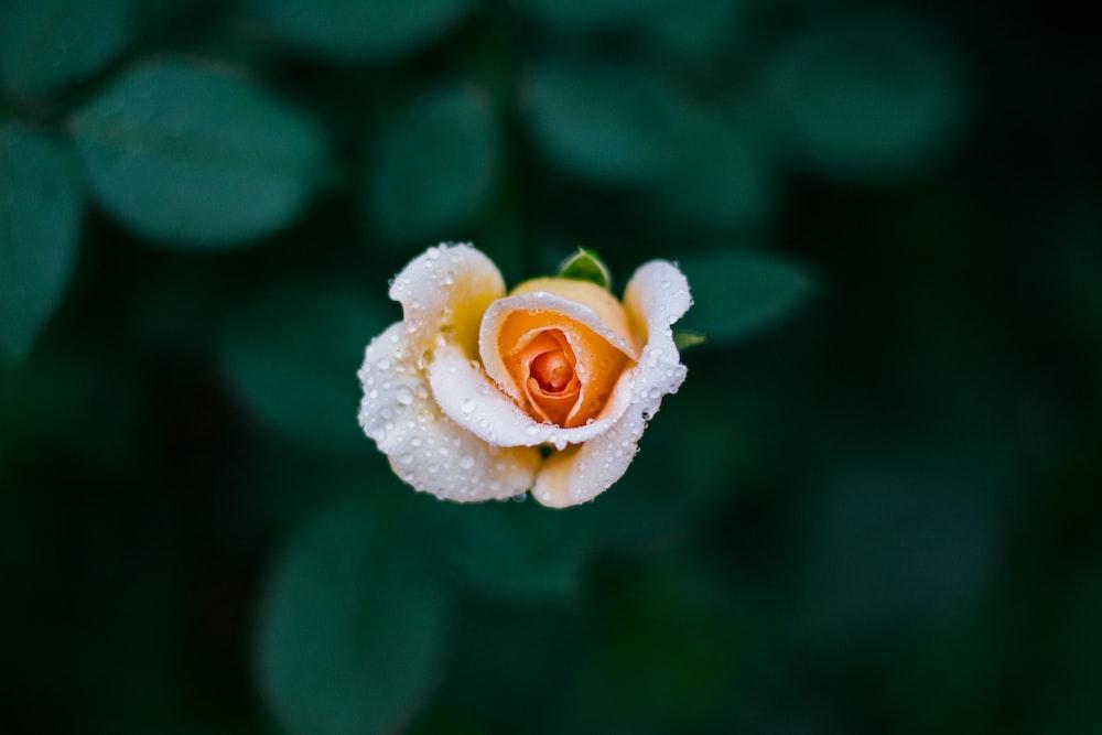shallow focus photography of orange rose