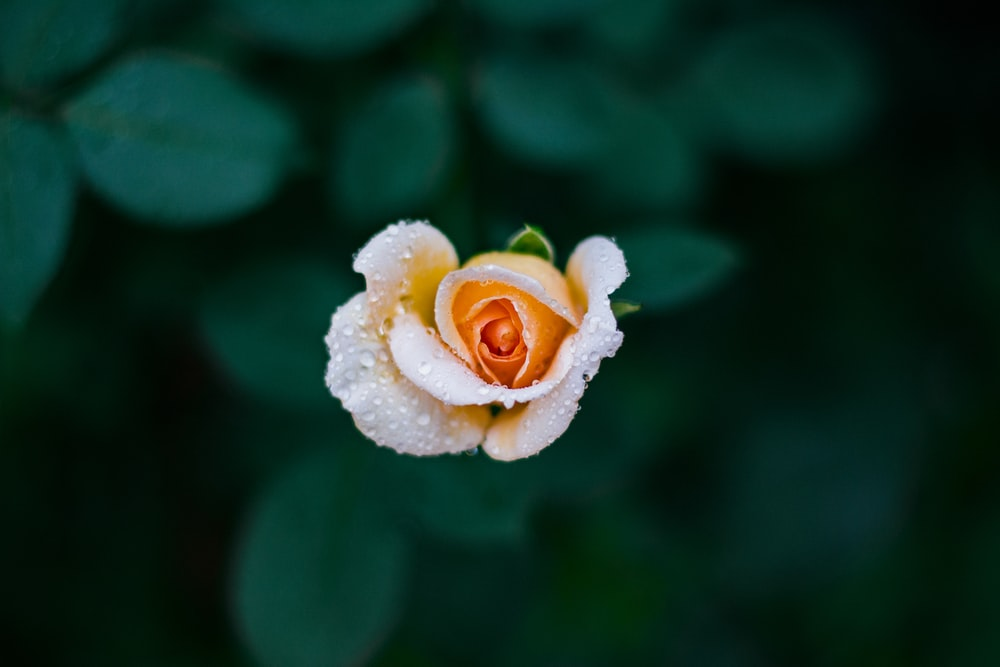 shallow focus photography of orange rose