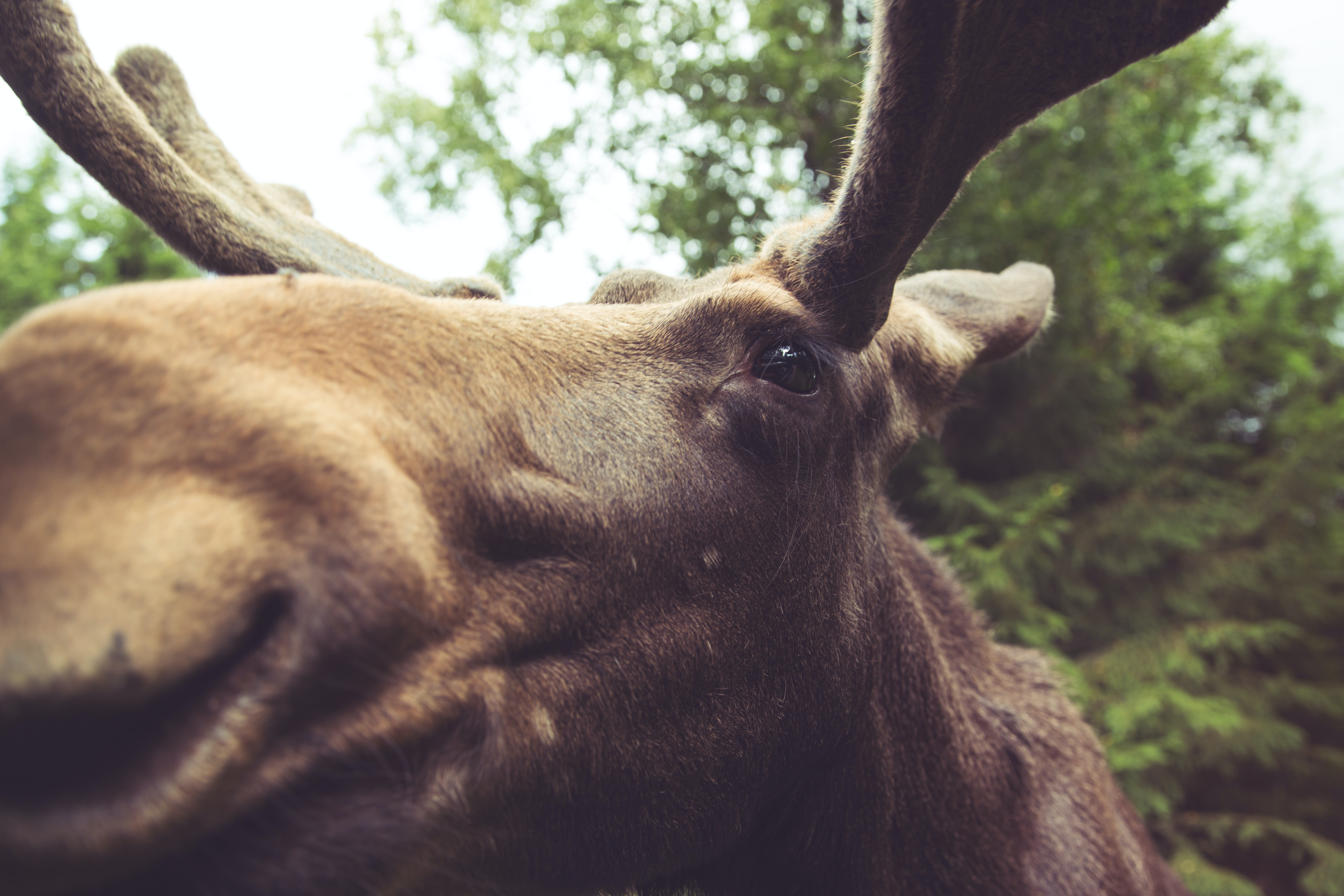 macro photography of brown moose