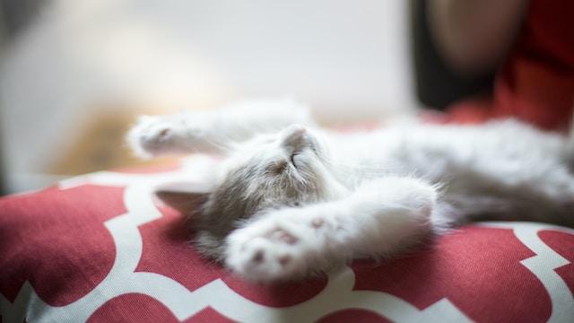 kitten lying on red and white quatrefoil textile