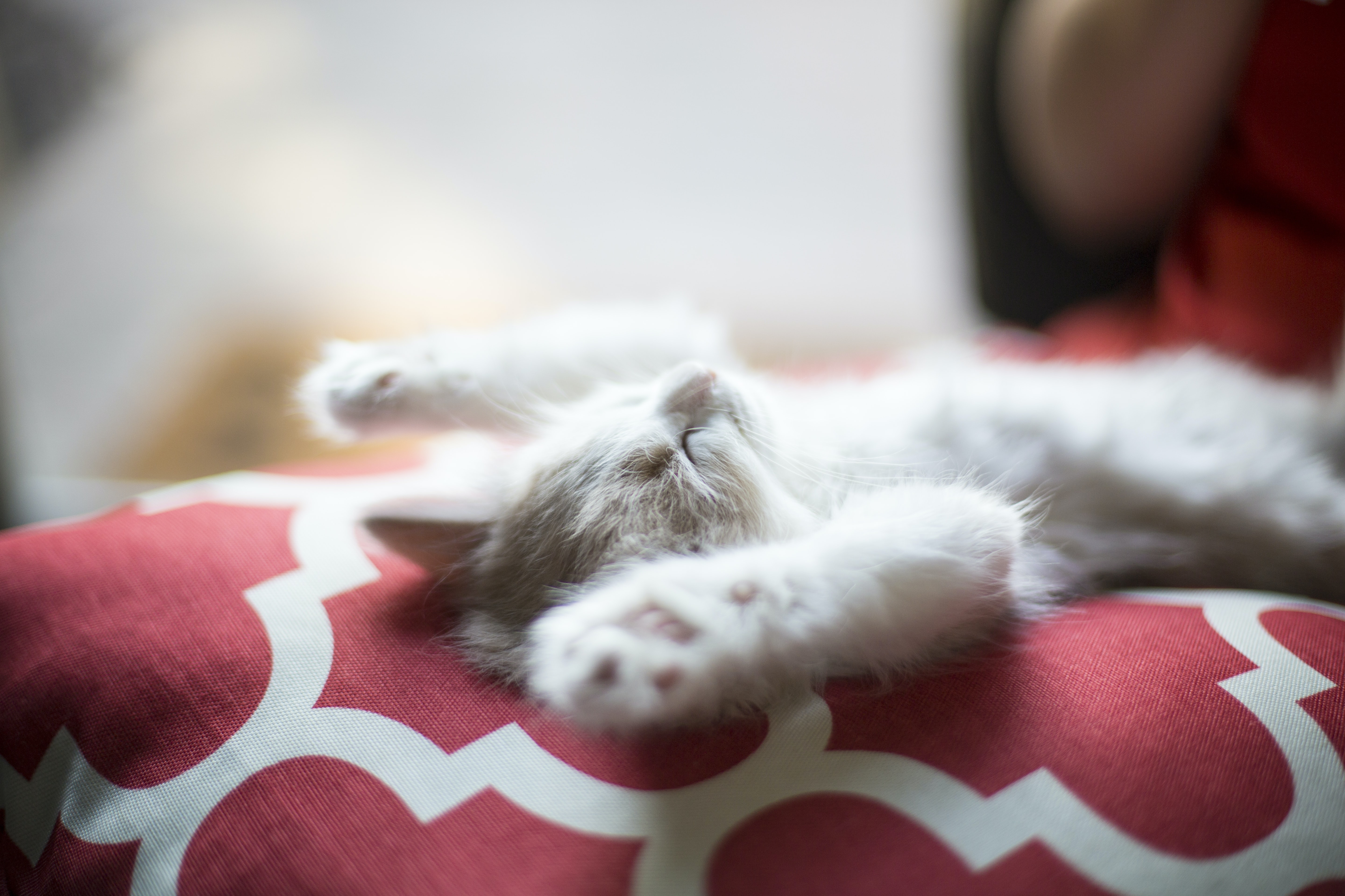 kitten lying on red and white quatrefoil textile