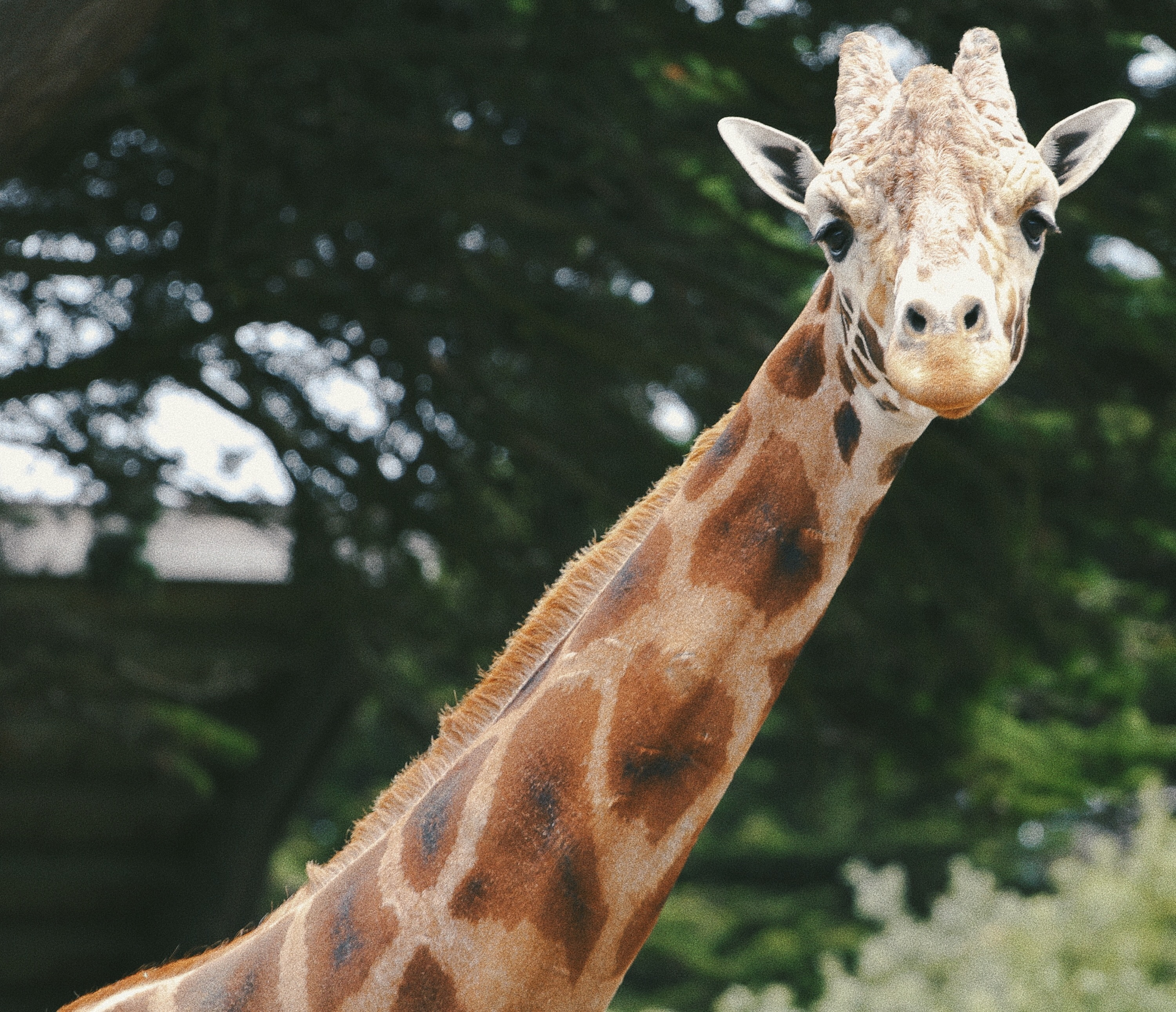 Giraffe with eyes half closed staring at camera with a tree behind it