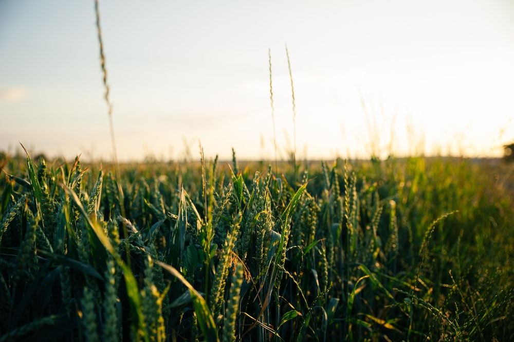 green wheat field during daytime