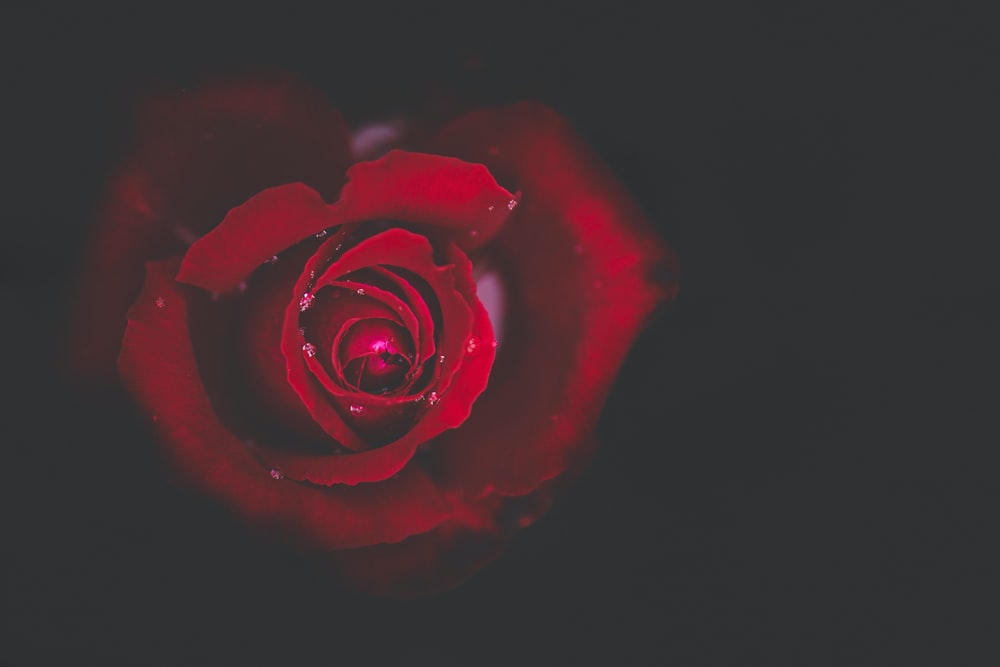 closeup photo of red rose in bloom
