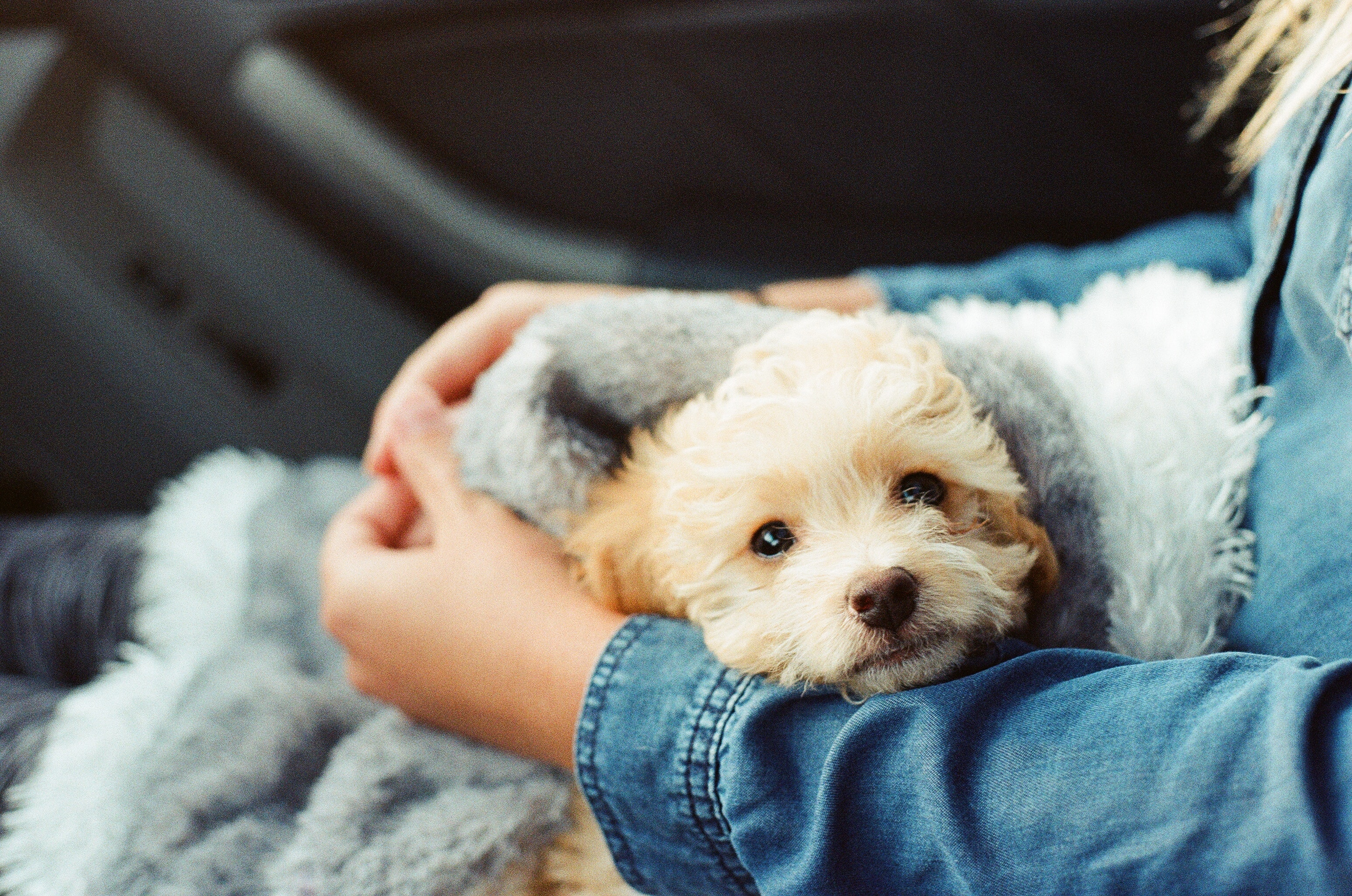 Cute fluffy puppy sitting in its owner's lap