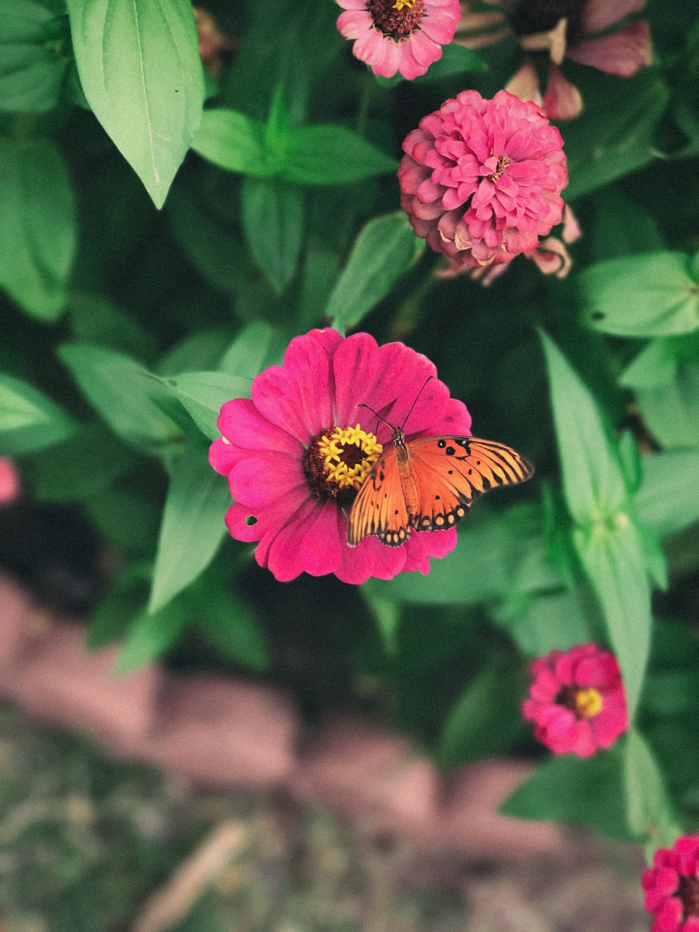 shallow focus photography of orange butterfly in pink flower