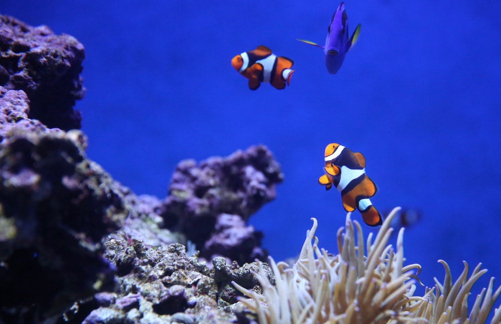 underwater photography of clown fish and blue thang