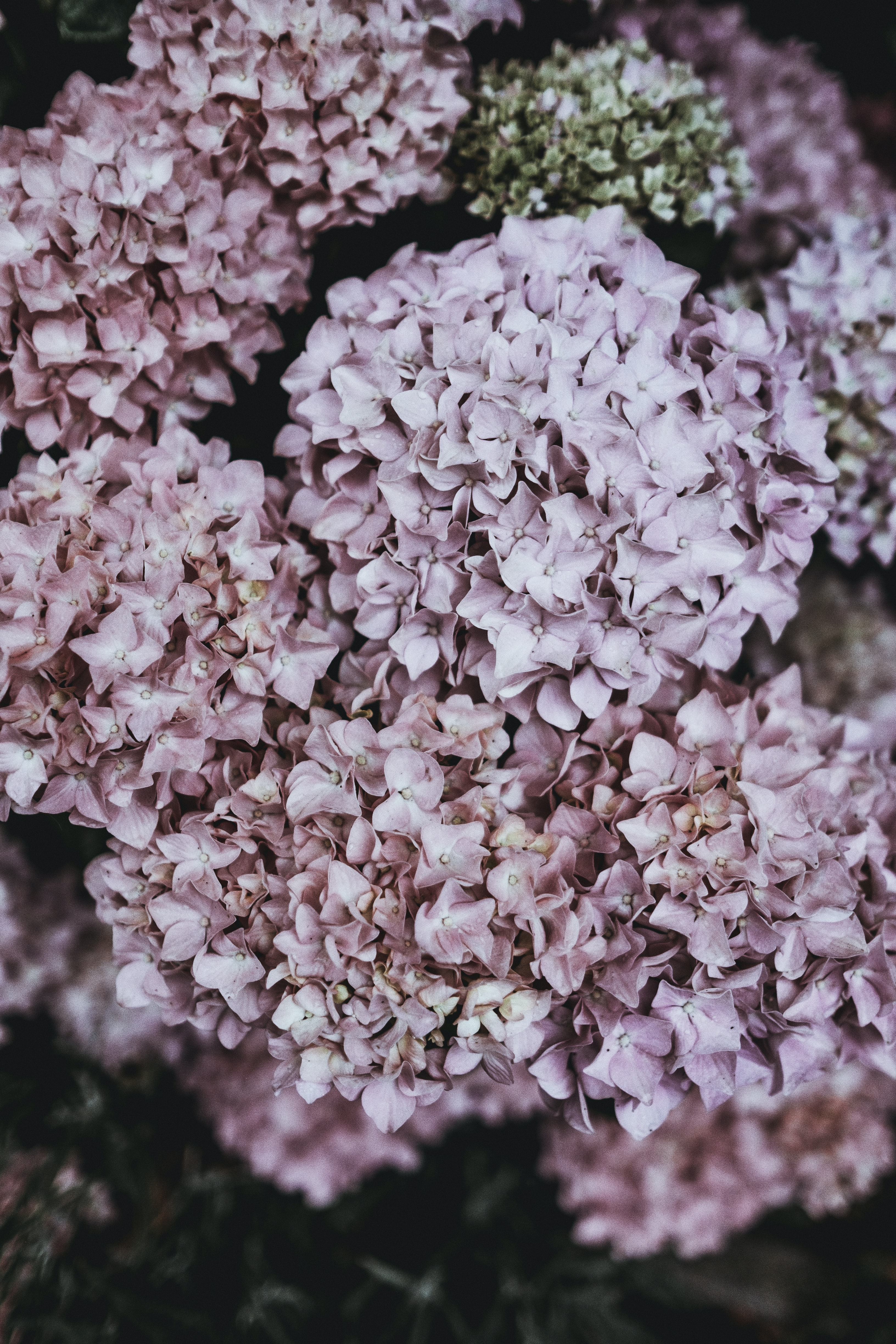 Pale shot of pink clusters of hydrangea flowers