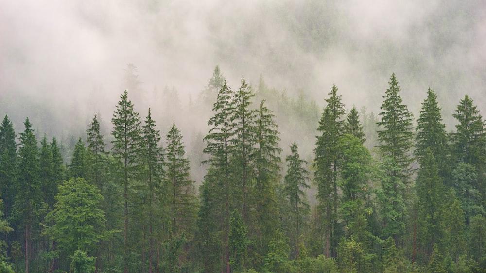 Tall Evergreen Trees In Dense Fog