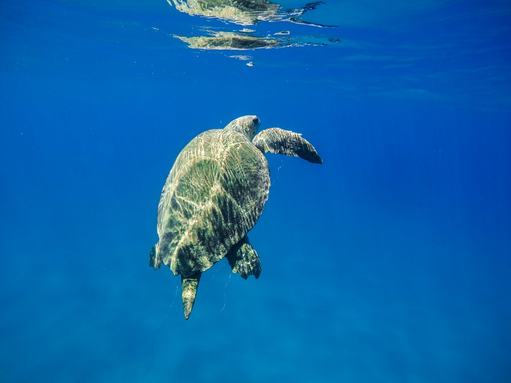 underwater photography of green turtle