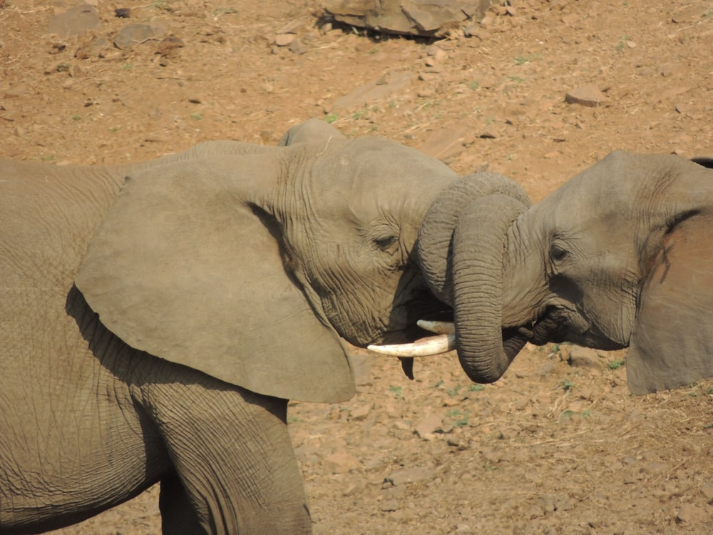 two elephants wrapping their trunks