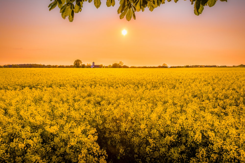 golden hour photography of yellow flower field