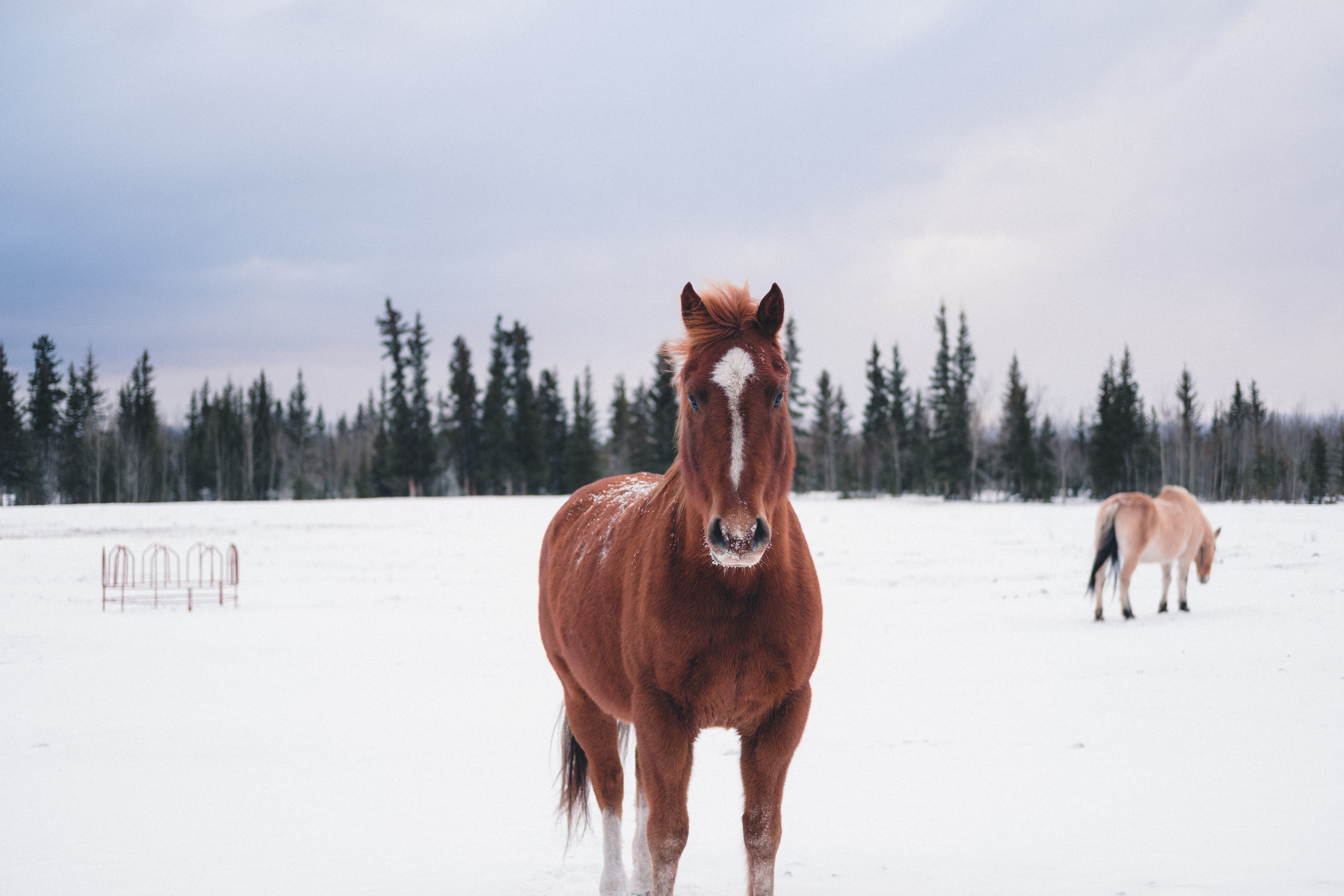 A brown horse with a white stripe on its head standing on snow with another horse at the back