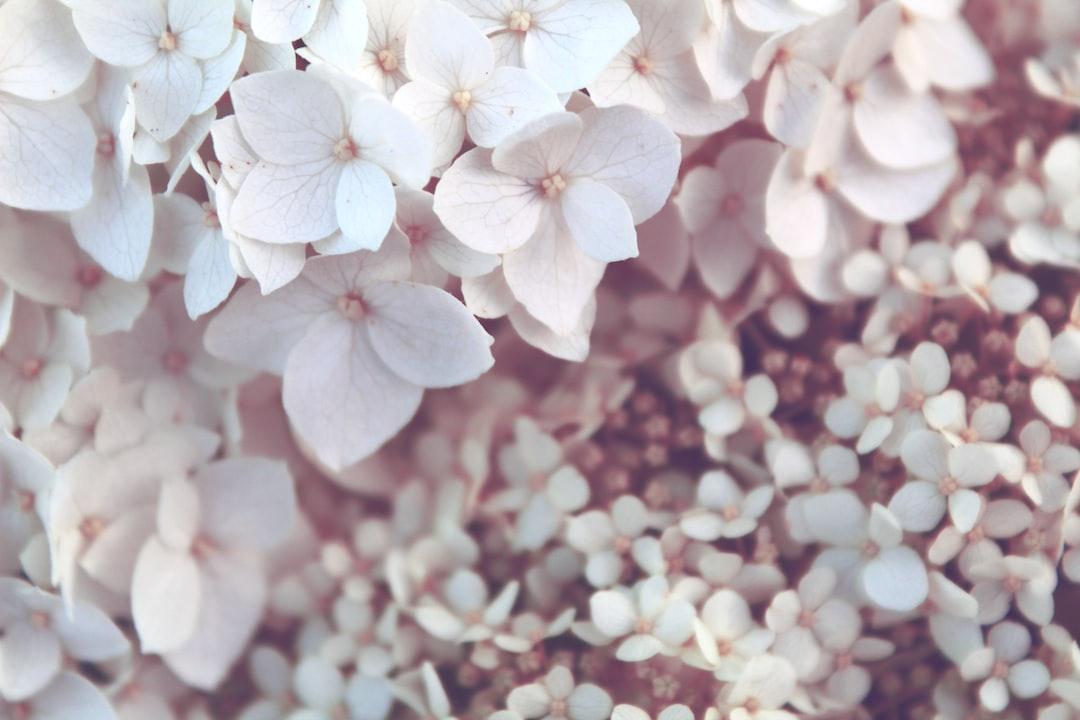 Pale white hydrangea