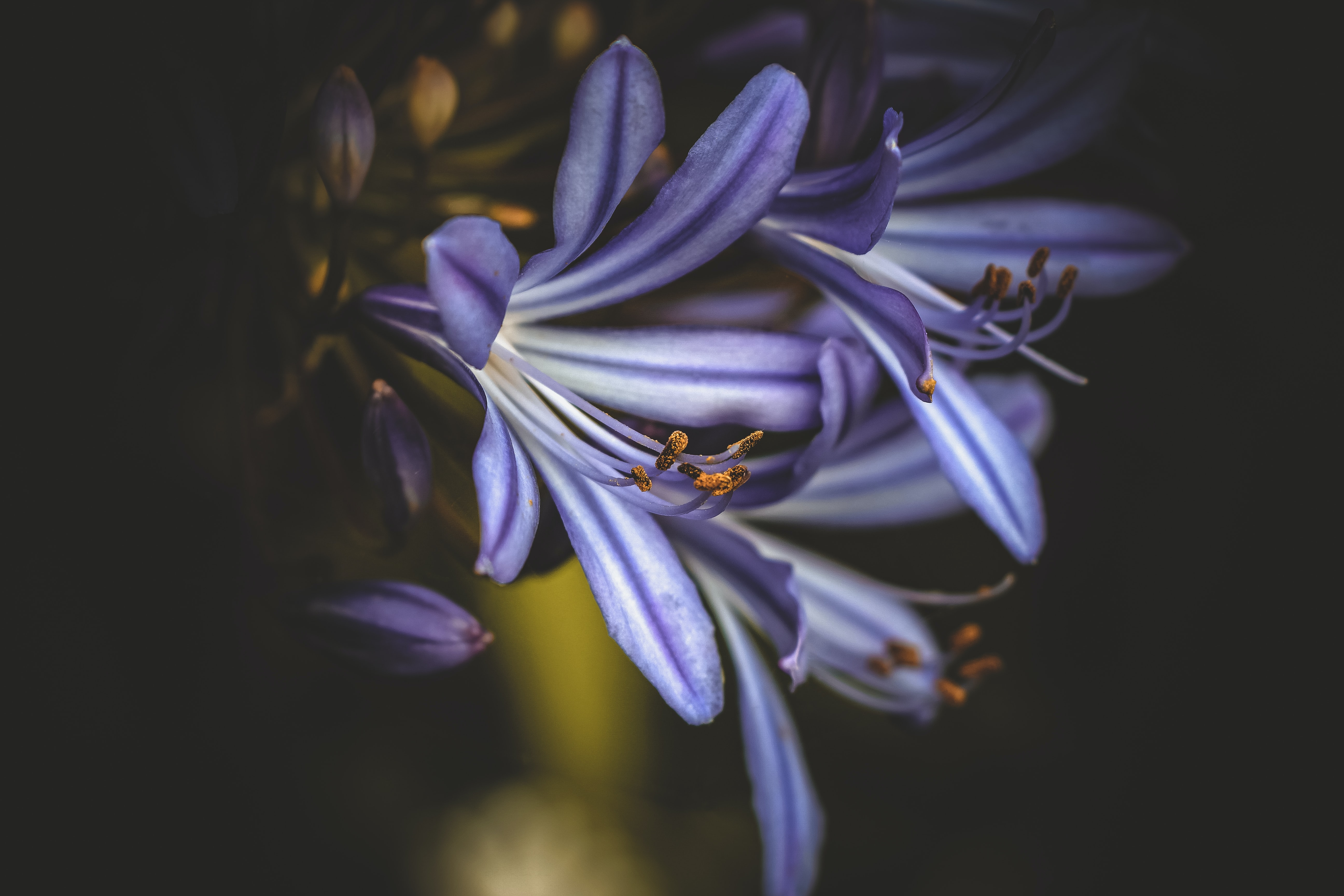 Close-up of violet hyacinth flowers