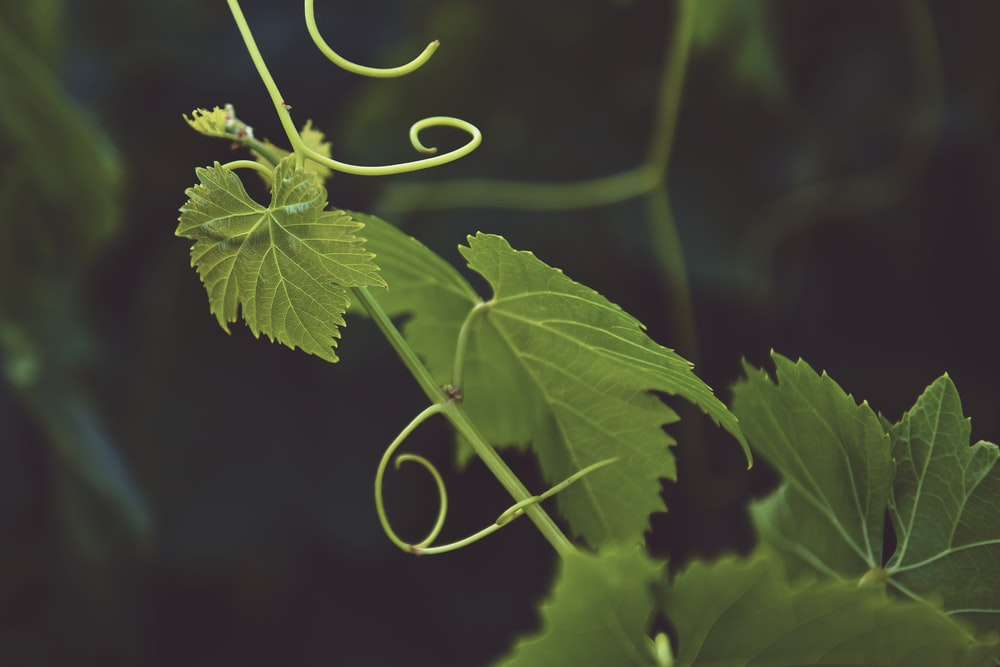 selective focus photography of green vine plant