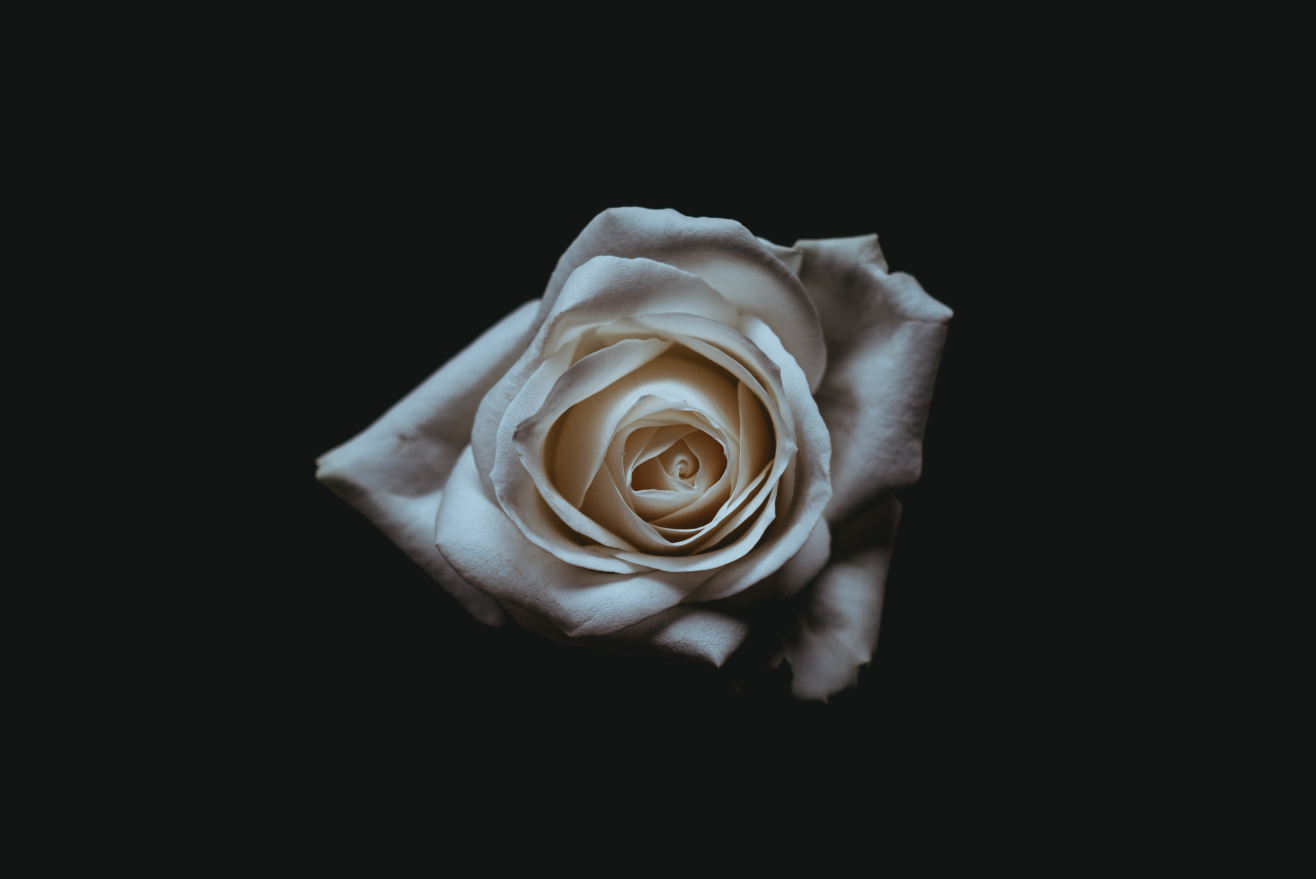 A pale white rose against a black background