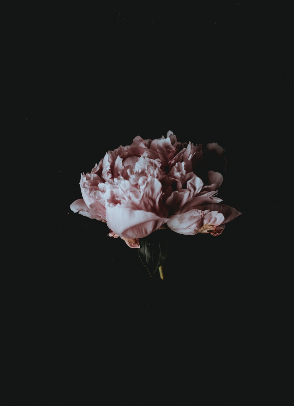 A Pale Pink Peony Flower Against Black Background