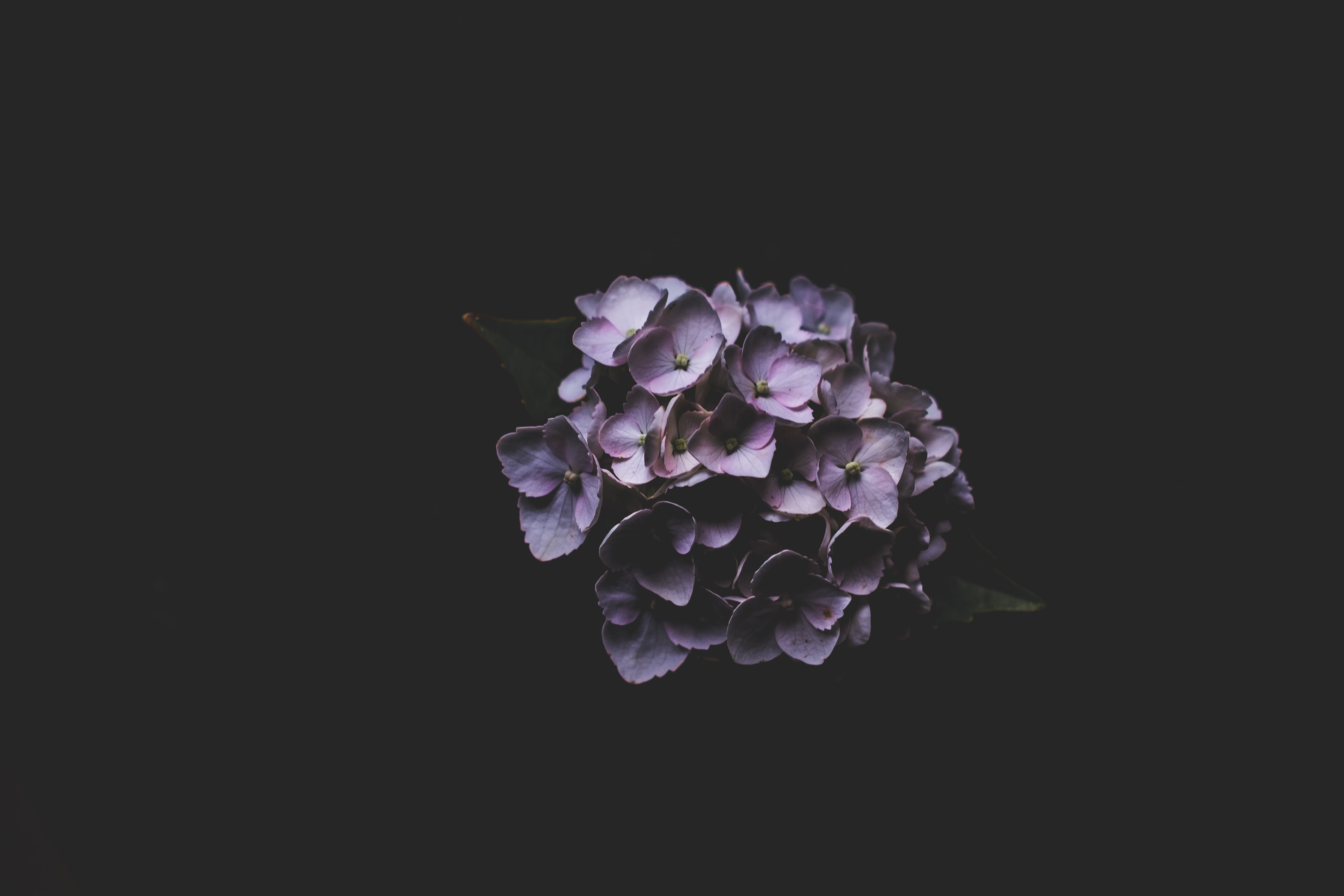 A cluster of purple hydrangea flowers against a black background