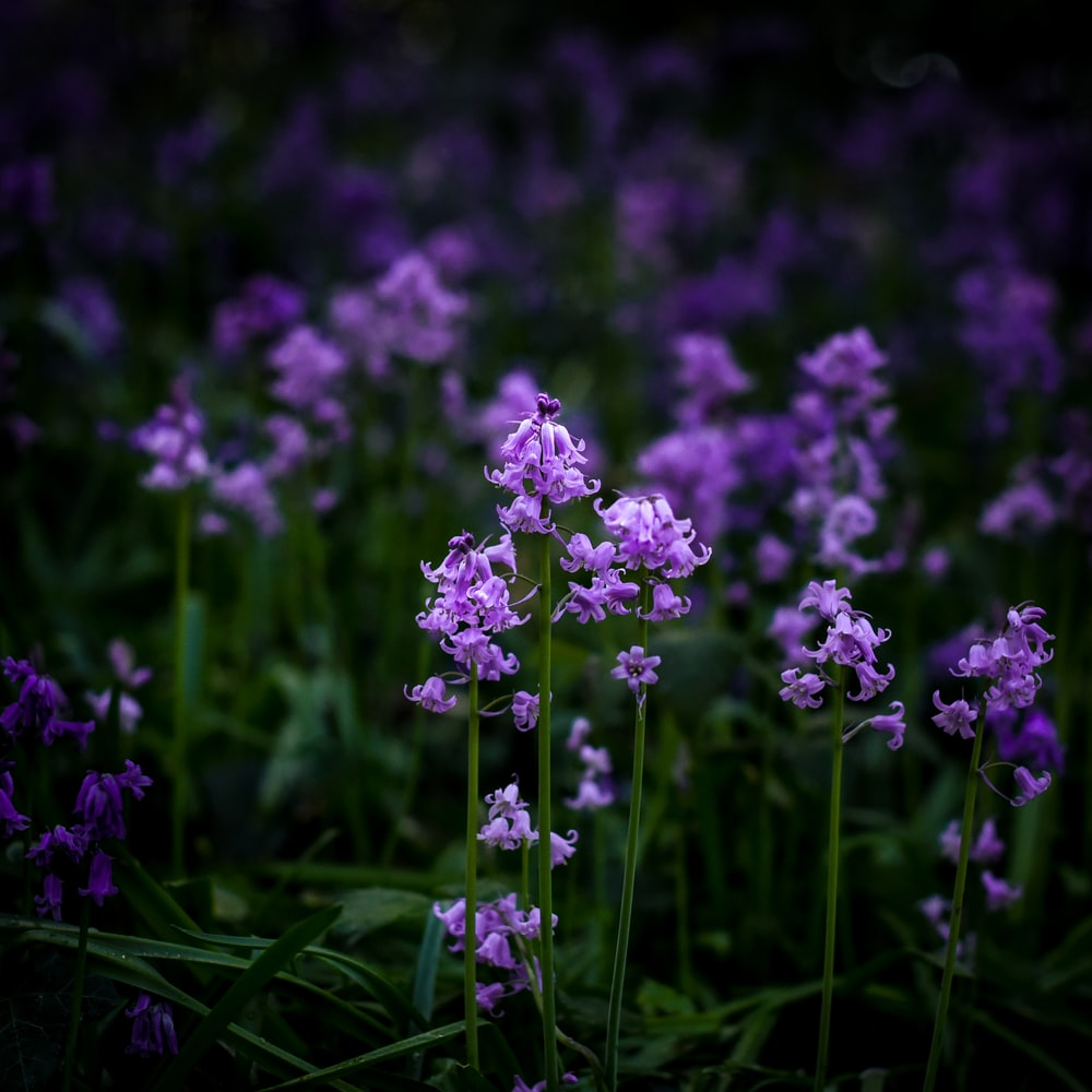 Selective Focus Photography Of Purple Petaled Flowers