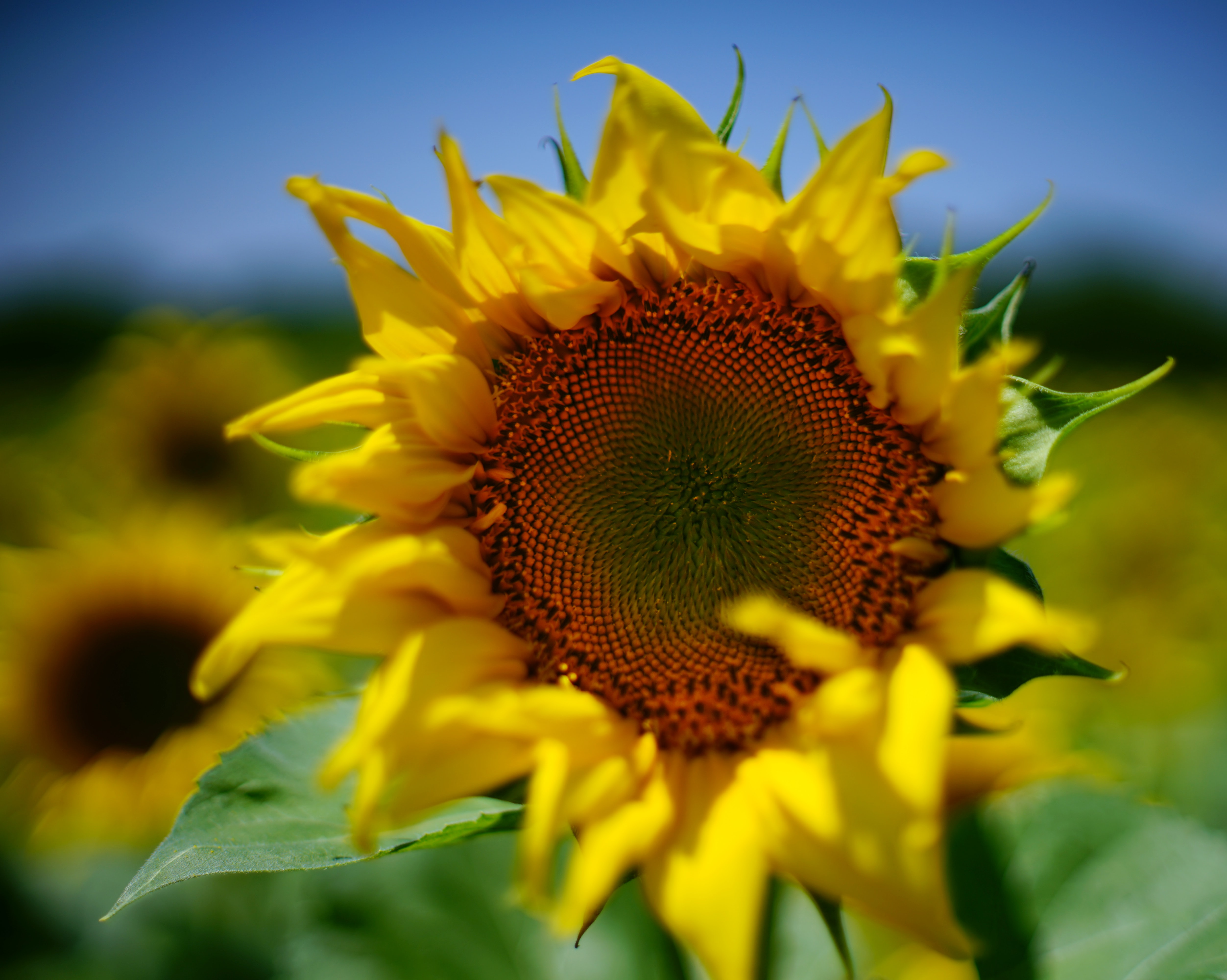 selective focus of sunflower