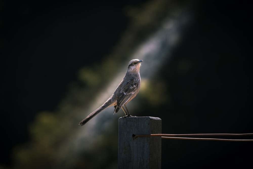 gray hummingbird on brown wooden fence