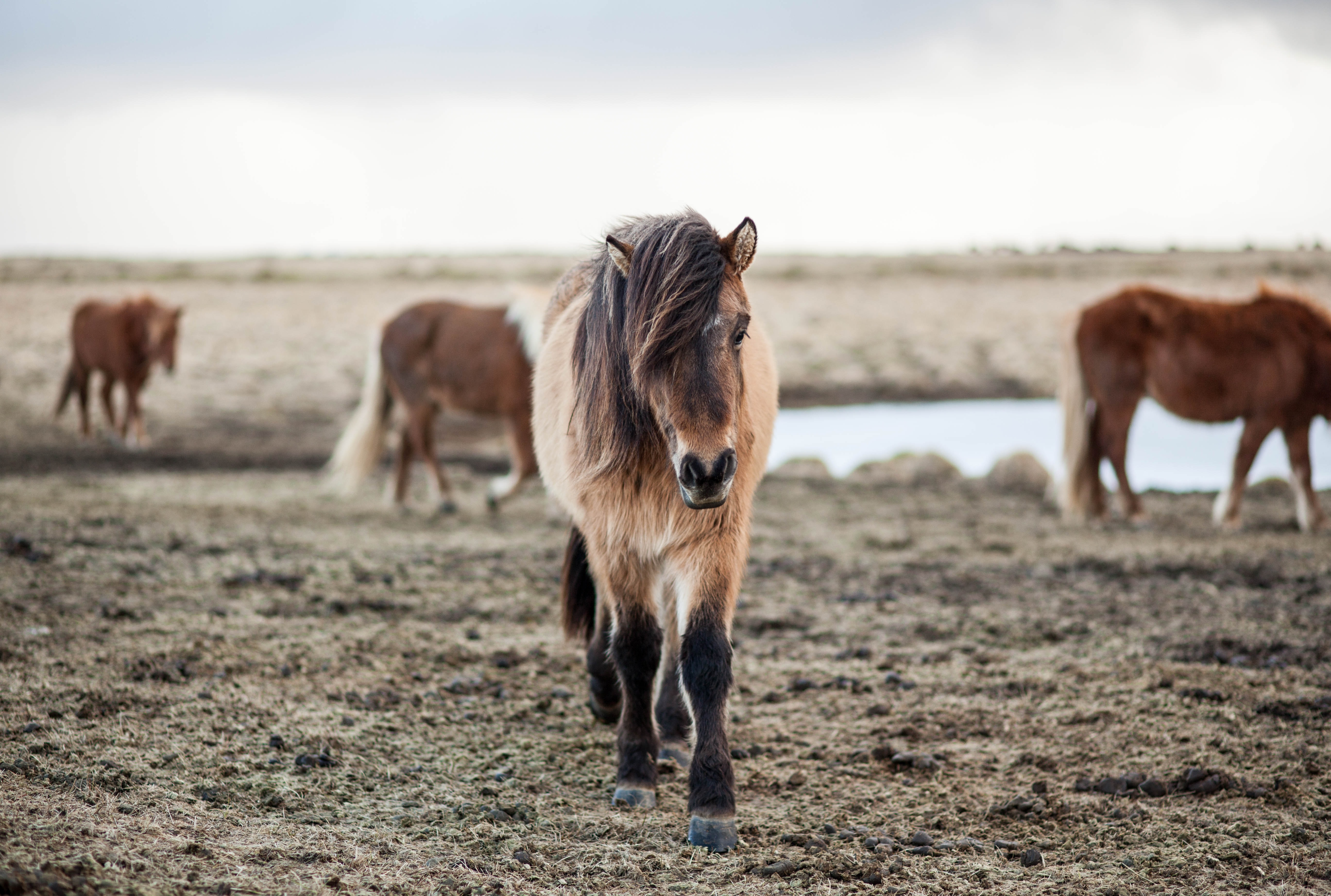 A shaggy pony with its mane covering its right eye on a cold pasture with other horses at the back