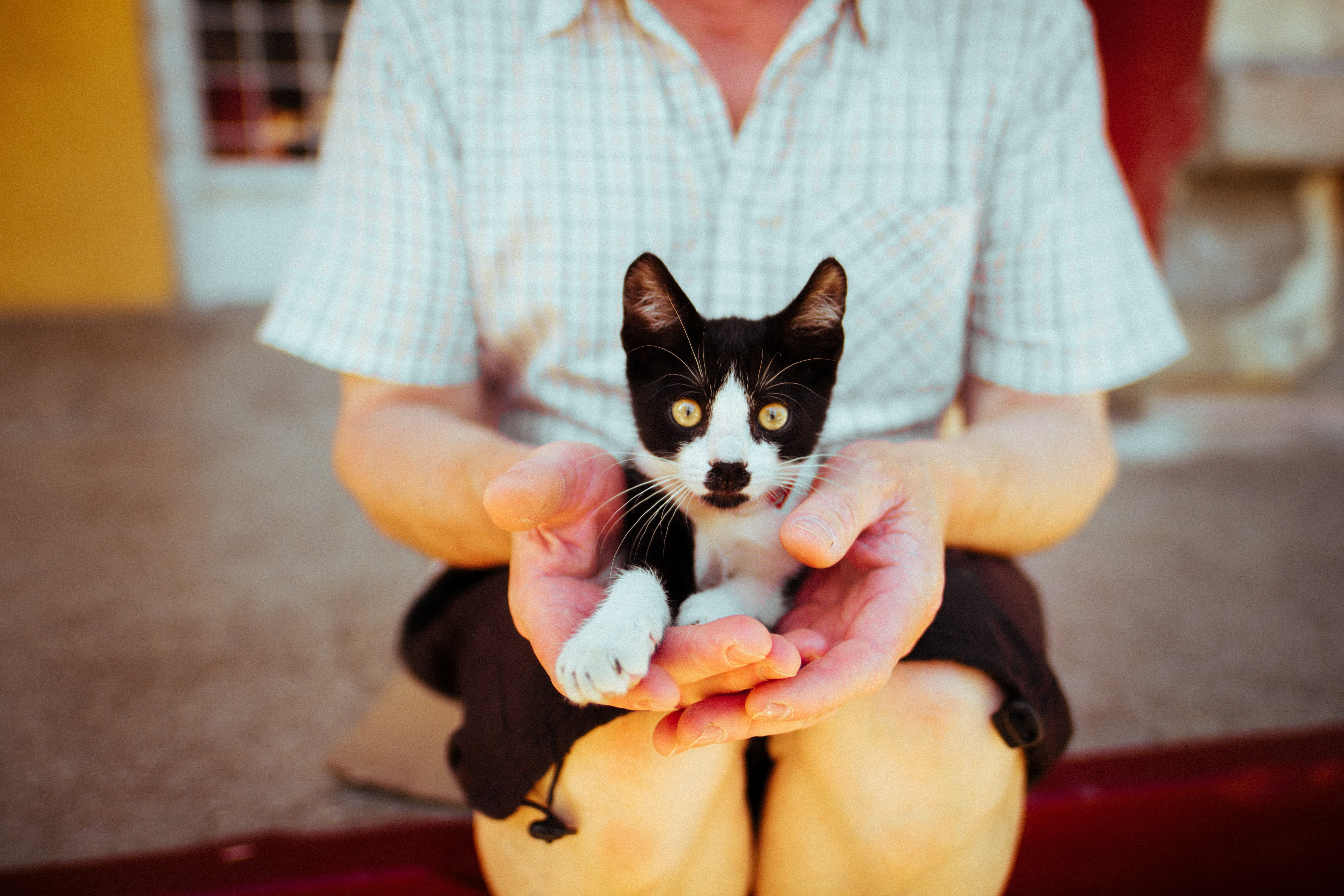 A black and white cat sitting on the lap of a person in a shirt