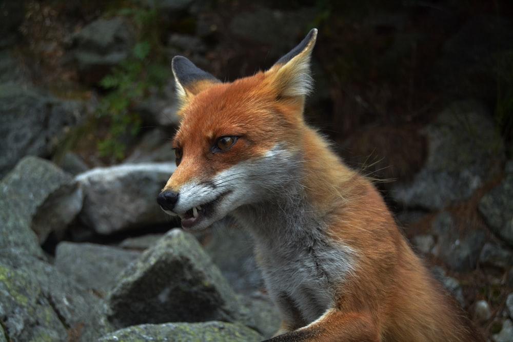 red fox near gray rocks