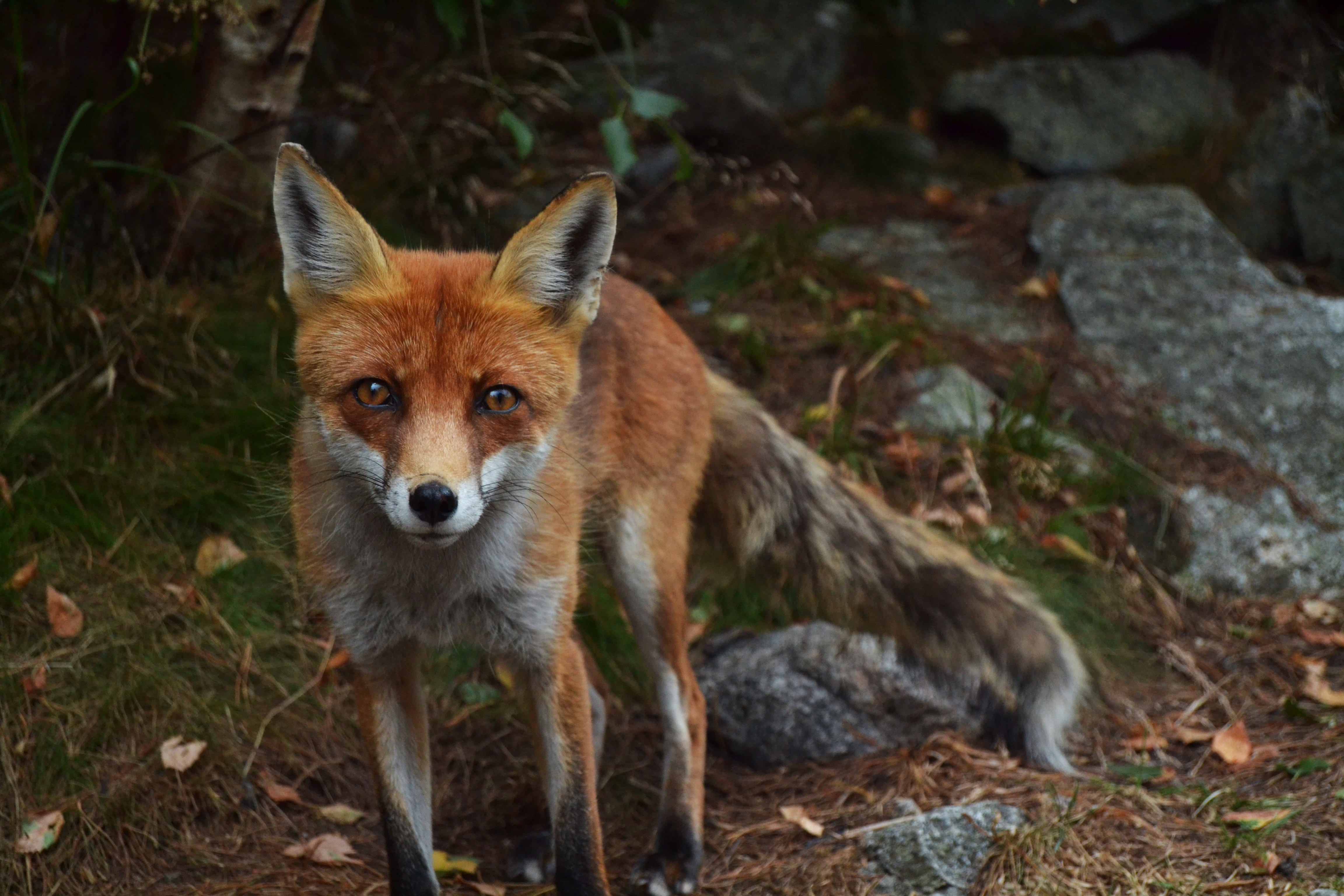 shallow focus photography of fox