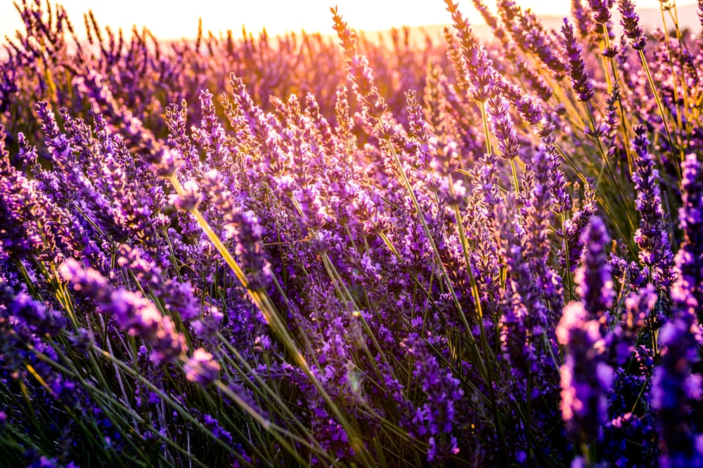 closeup photo of lavender bed