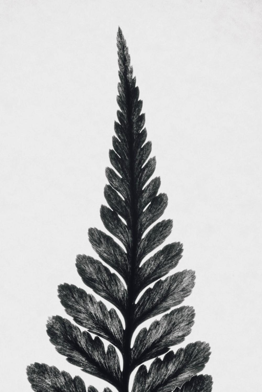 black leafed plant