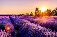 Lavender poetry stories