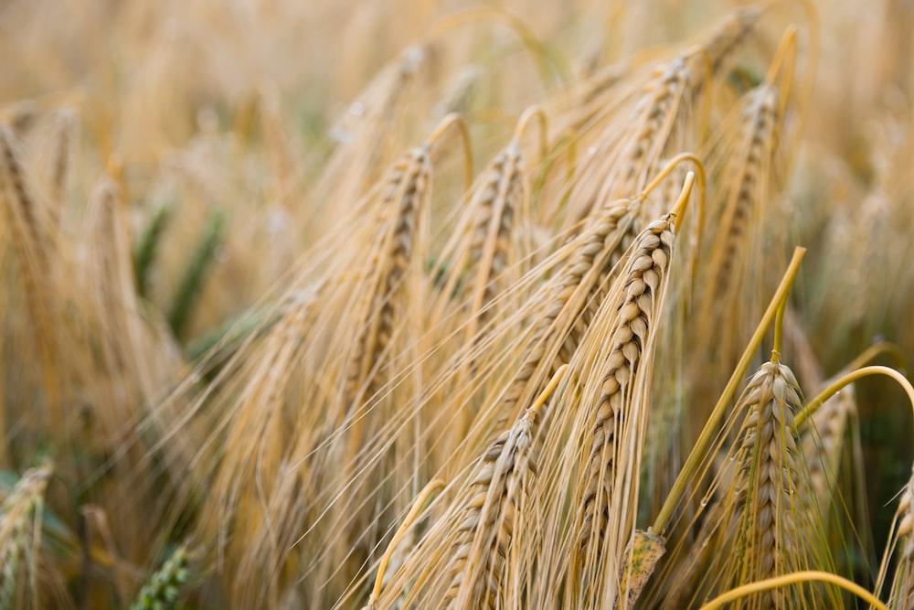 shallow focus of rice grains